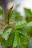 Gli afidi su sono aumentato foglie immagini stock libere da diritti