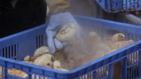 Gli agarichi nudi d'elaborazione di conservazione e di pulizia rapido come possibile dopo selezionato dalla natura, materiali lus immagine stock