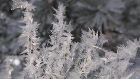 Gli aghi attillati sono coperti di brina nei cristalli di ghiaccio della foresta dell'inverno scintillano al sole Primo piano stock footage