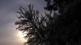 Gli aghi attillati sono coperti di brina, siluetta del ramo del pino contro fondo del sole dell'inverno Primo piano Nell'archivio video d archivio