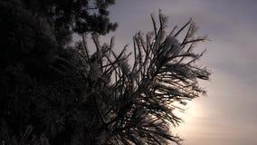 Gli aghi attillati sono coperti di brina, siluetta del ramo del pino contro fondo del sole dell'inverno Primo piano Nell'archivio stock footage