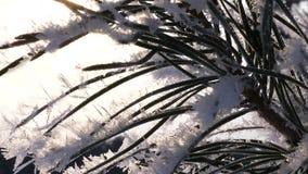 Gli aghi attillati verdi sono coperti di brina, nel parco dell'inverno là è un forte primo piano del gelo archivi video