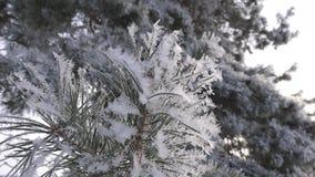 Gli aghi attillati verdi sono coperti di brina Primo piano Foresta di inverno in neve nel parco dell'inverno c'è un forte video d archivio