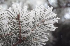 Gli aghi congelati dell'abete Immagine Stock