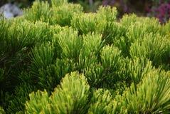 Gli aghi di conifere del pino si chiudono su fotografia stock