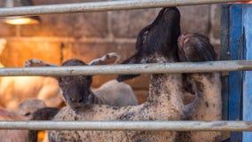 Gli agnelli da latte nell'aspettare organico dell'azienda agricola loro allattano con il biberon Immagine Stock Libera da Diritti