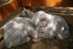 Gli agnelli di sonno Fotografia Stock Libera da Diritti