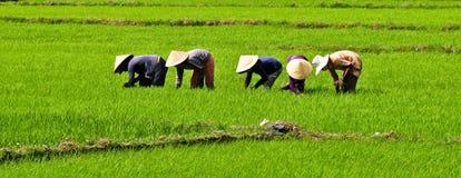 Gli agricoltori che lavorano al riso sistemano in Binh Dinh, Vietnam Fotografie Stock Libere da Diritti