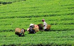 Gli agricoltori che lavorano al tè sistemano in Chaudok, Vietnam Fotografia Stock