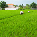 Gli agricoltori che lavorano in un riso sistemano vicino alla capanna nave Immagini Stock