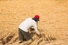 Gli agricoltori che raccolgono riso Fotografia Stock