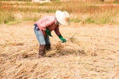 Gli agricoltori che raccolgono riso Immagini Stock Libere da Diritti