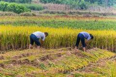 Gli agricoltori cinesi hanno raccolto il riso Fotografia Stock