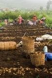 Gli agricoltori coltivano le patate Fotografie Stock Libere da Diritti