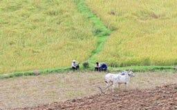 Gli agricoltori con le mucche su riso sistemano in Tra Vinh, Vietnam Fotografia Stock Libera da Diritti