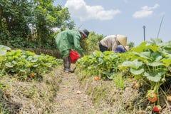 Gli agricoltori del gruppo stanno raccogliendo le fragole nel campo Fotografia Stock