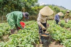 Gli agricoltori del gruppo stanno raccogliendo le fragole nel campo Immagini Stock Libere da Diritti
