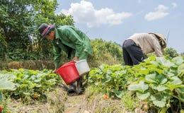 Gli agricoltori del gruppo stanno raccogliendo le fragole nel campo Fotografie Stock Libere da Diritti