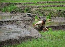 Gli agricoltori del riso che lavorano al terrazzo del riso sistema in Sapa, Vietnam Fotografia Stock