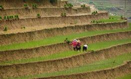 Gli agricoltori del riso che lavorano al terrazzo del riso sistema in Sapa, Vietnam Immagini Stock