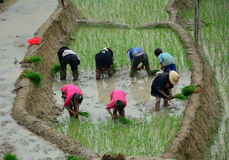 Gli agricoltori del riso che lavorano al terrazzo del riso sistema in Sapa, Vietnam Immagini Stock Libere da Diritti