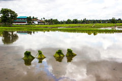 Gli agricoltori del riso dell'agricoltore coltivano il riso, aratro Fotografia Stock Libera da Diritti