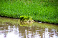 Gli agricoltori del riso dell'agricoltore coltivano il riso, aratro Fotografie Stock