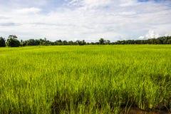 Gli agricoltori del riso dell'agricoltore coltivano il riso, aratro Immagine Stock Libera da Diritti