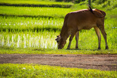 Gli agricoltori del riso dell'agricoltore coltivano il riso, aratro Immagini Stock Libere da Diritti