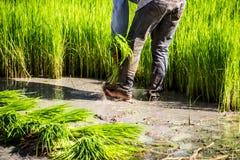 Gli agricoltori del riso dell'agricoltore coltivano il riso, aratro Fotografia Stock