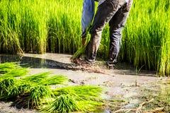 Gli agricoltori del riso dell'agricoltore coltivano il riso, aratro Immagine Stock