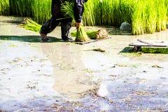 Gli agricoltori del riso dell'agricoltore coltivano il riso, aratro Fotografie Stock Libere da Diritti