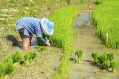 Gli agricoltori del riso stanno ritirando le piantine al trapianto Fotografia Stock Libera da Diritti