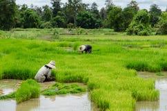 Gli agricoltori del riso stanno ritirando le piantine al trapianto Immagini Stock