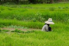 Gli agricoltori del riso stanno ritirando le piantine al trapianto Fotografie Stock Libere da Diritti