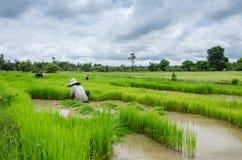 Gli agricoltori del riso stanno ritirando le piantine al trapianto Fotografia Stock