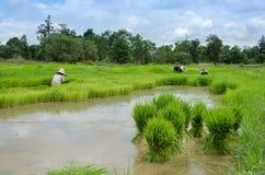 Gli agricoltori del riso stanno ritirando le piantine al trapianto Immagine Stock