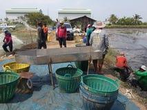 Gli agricoltori della Tailandia stanno raccogliendo il pesce dal loro stagno Fotografia Stock