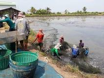 Gli agricoltori della Tailandia stanno raccogliendo il pesce dal loro stagno con una rete da pesca Fotografia Stock