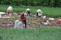 Gli agricoltori di Dalat hanno raccolto le cipolle Immagine Stock