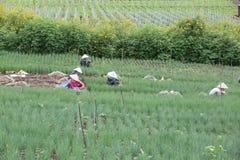 Gli agricoltori di Dalat hanno raccolto le cipolle Fotografie Stock