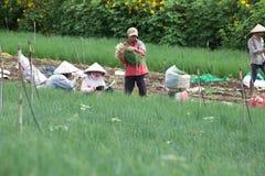 Gli agricoltori di Dalat hanno raccolto le cipolle Fotografie Stock Libere da Diritti