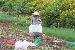 Gli agricoltori di Dalat hanno raccolto le cipolle Fotografia Stock
