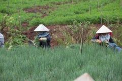 Gli agricoltori di Dalat hanno raccolto le cipolle Immagini Stock Libere da Diritti