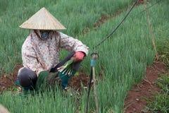 Gli agricoltori di Dalat hanno raccolto le cipolle Immagine Stock Libera da Diritti