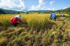 Gli agricoltori effettuano acutamente i loro raccolti durante la stagione del raccolto dentro Fotografie Stock