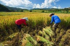 Gli agricoltori effettuano acutamente i loro raccolti durante la stagione del raccolto dentro Immagine Stock