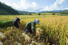 Gli agricoltori effettuano acutamente i loro raccolti durante la stagione del raccolto dentro Fotografia Stock