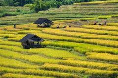 Gli agricoltori effettuano acutamente i loro raccolti durante la stagione i del raccolto Fotografie Stock Libere da Diritti