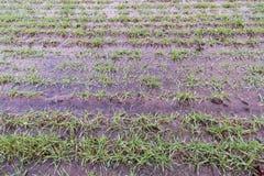 Gli agricoltori hanno bagnato il campo di grano verde Immagine Stock